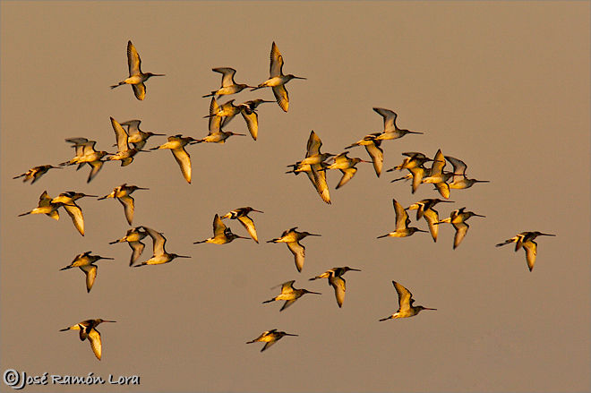 Aguja colinegra (Limosa limosa)
